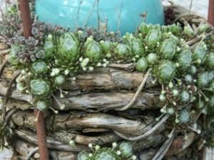 Hauswurze sind sehr genügsam und alte Schutzpflanzen im Hausgarten